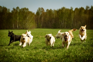 multiple dogs running across a field