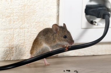 rat chewing an electrical wire
